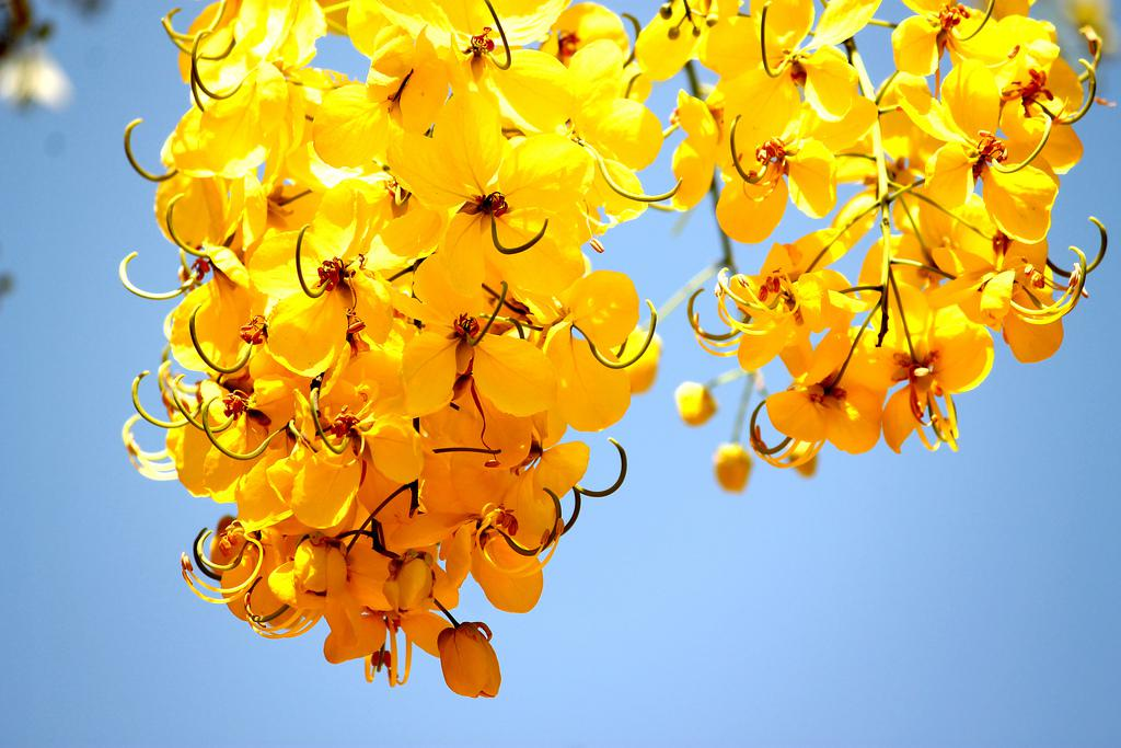 Kanikkonna: golden-yellow flowers. (Image: C1.staticflickr.com)